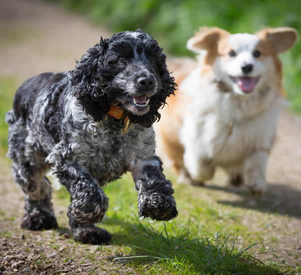 dogs running belonging to Charlotte Aston vet at melton vets