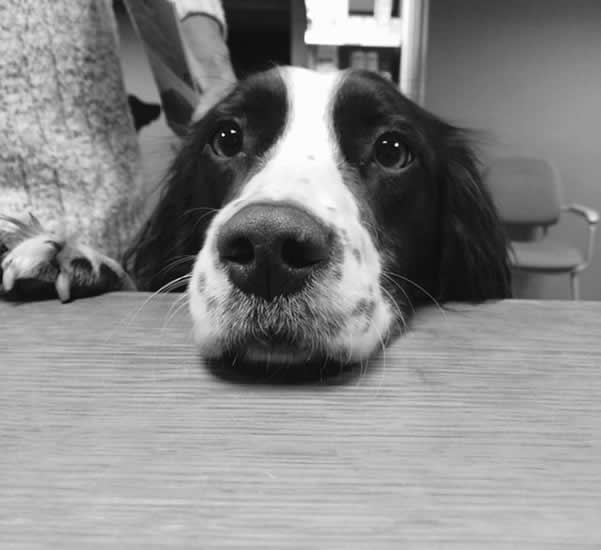 Springer visiting Melton Vets