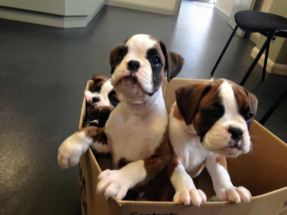 gorgeous Boxer pups visit Melton Vets