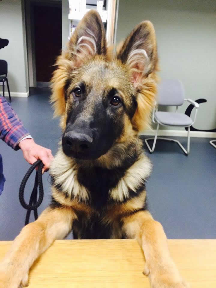 GSD pup visiting Melton Vets