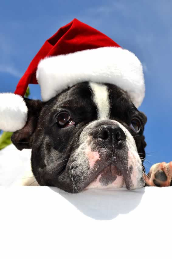 dog and santa hat