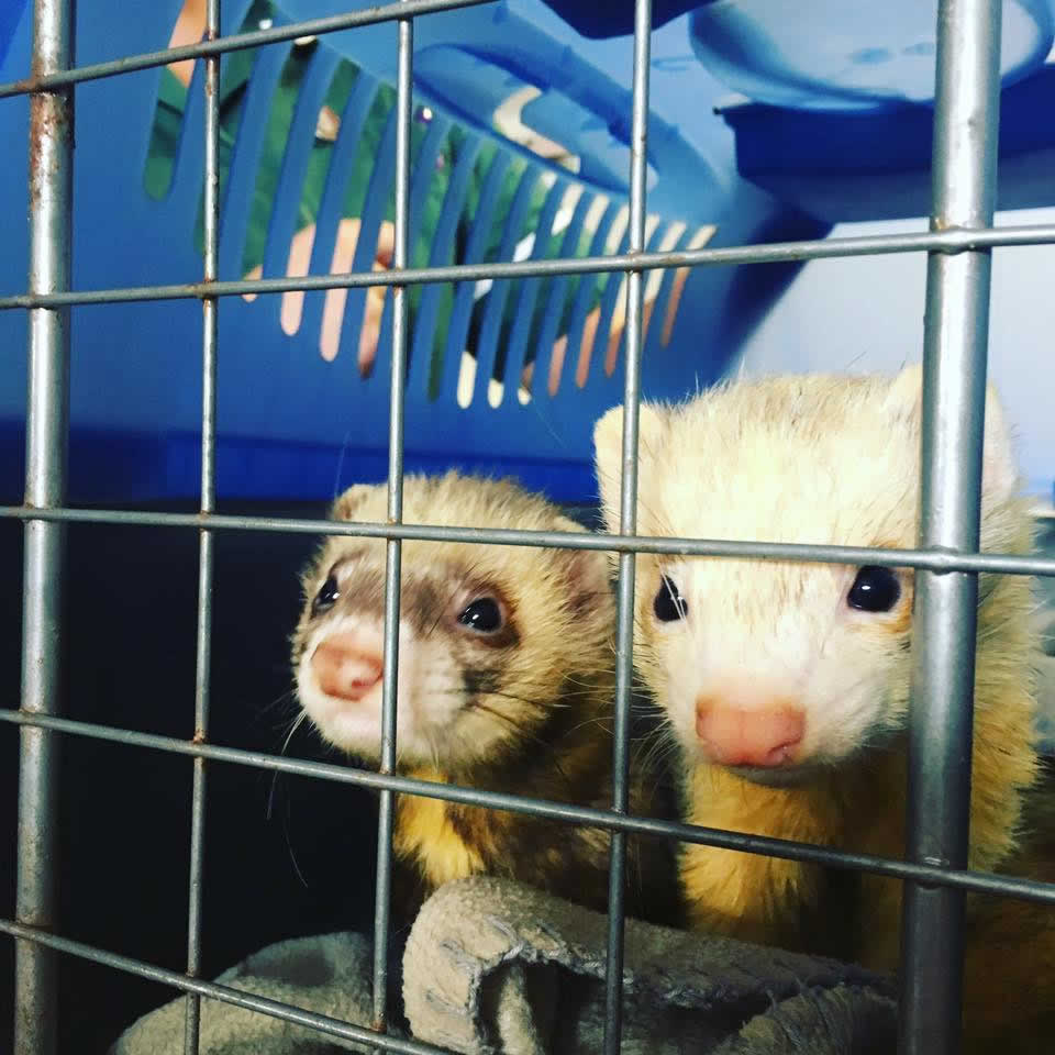 ferrets in cage at melton vets