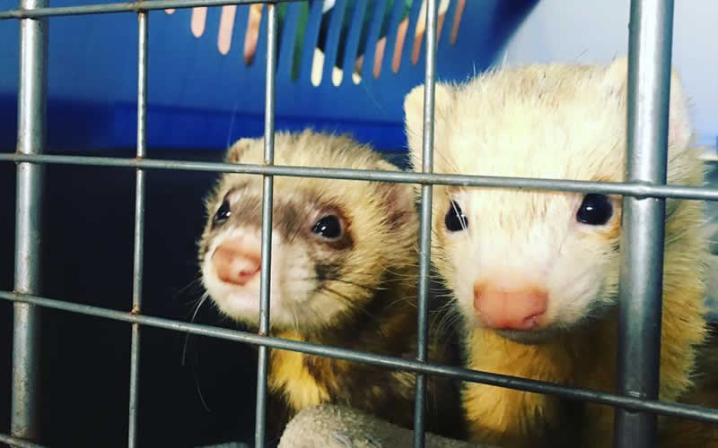 All about Ferrets